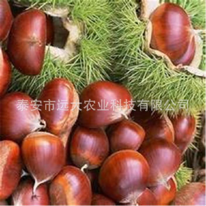 优质板栗树 嫁接板栗树 品种齐全产量高 易成活 1年板栗树