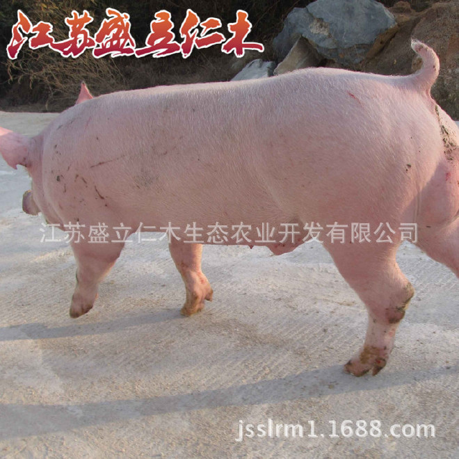 克种猪大约克白种新美系优质大约克猪大小学视频资格证素质教师v种猪母猪图片