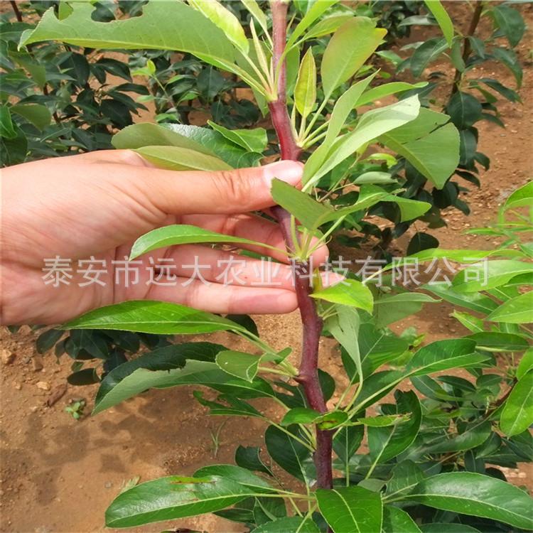 高品質晚秋黃梨苗品種純正  秋月梨苗價格優惠 歡迎大量選購