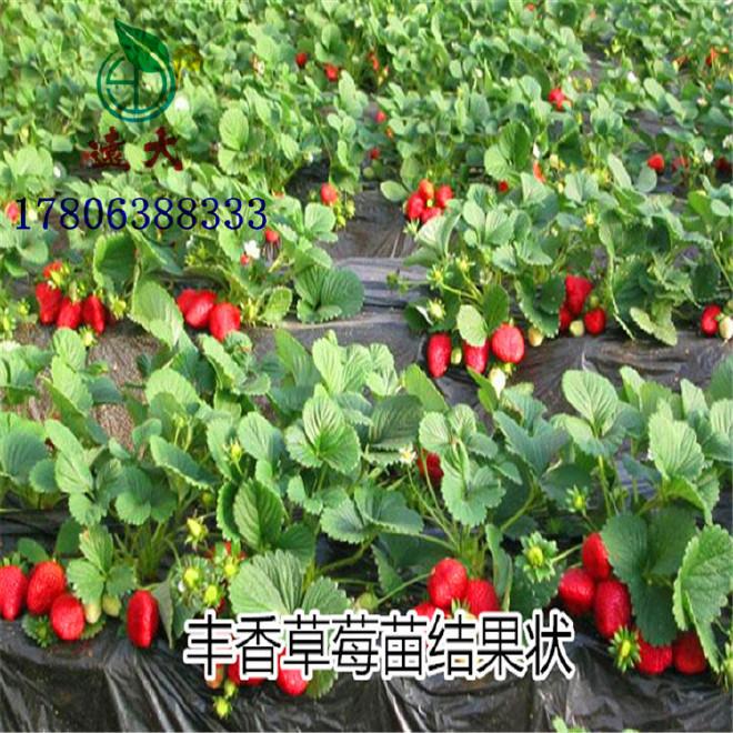 草莓苗基地大量批發優質豐香草莓苗品種純正果實飽滿量大優惠