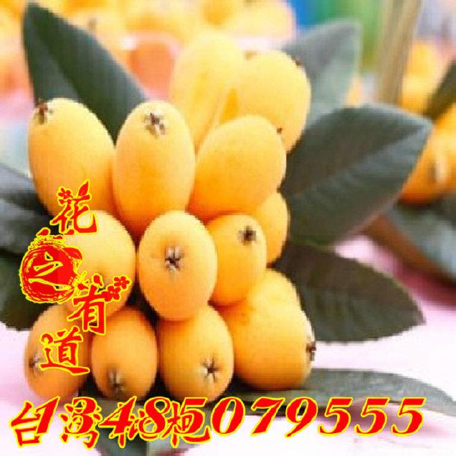 枇杷树苗 台湾大果超甜枇杷*台湾枇杷苗 当年结果 盆栽地栽都可以