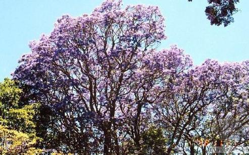 广西紫云木,紫云木实时报价,紫云木优质批发