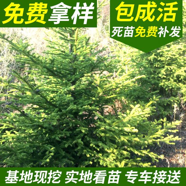云杉一手貨源 園林綠化工程植物 高存活率綠化喬木批發
