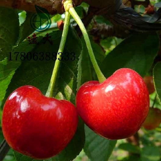 直銷櫻桃樹苗 嫁接車厘子櫻桃樹 品種純正 成活率高 優質櫻桃樹 美早櫻桃苗 櫻桃苗