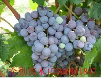 夏黑葡萄苗 品种纯正 品质优良葡萄小苗 庭院种植葡萄苗 价格优惠图片