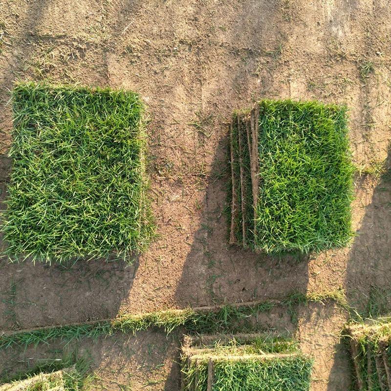 馬尼拉草皮_馬尼拉草坪_馬尼拉草坪價格_馬尼拉草皮價格_凡諾園林