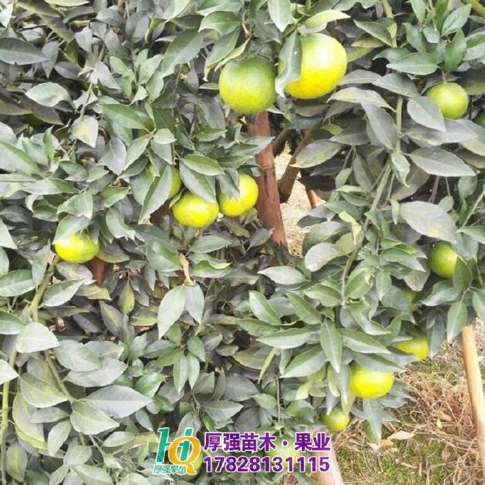 沃柑柑橘苗价格种植柑橘苗基地直销