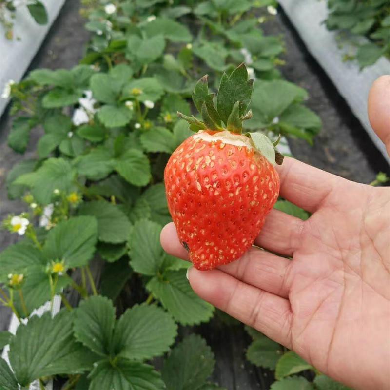 优质草莓苗 草莓苗价格 旭日苗木草莓苗批发基地