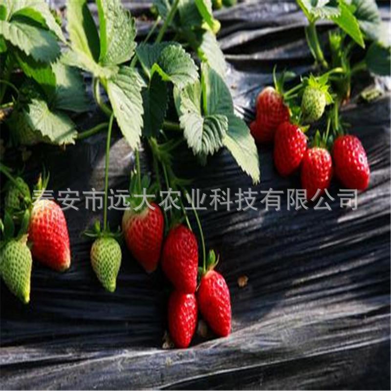 泰安草莓基地供應豐香草莓價格優惠 成活率高 當年結果草莓.