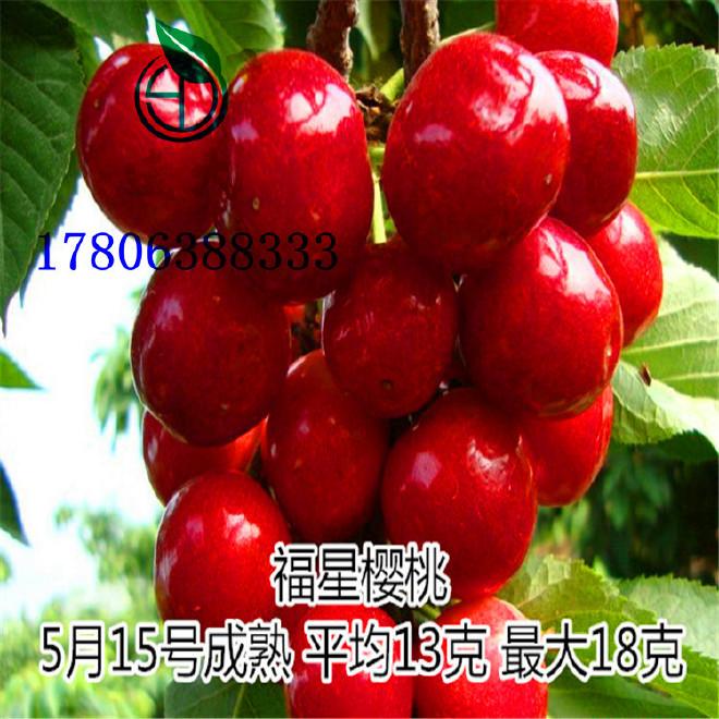 山東 櫻桃樹 基地直銷 紅燈櫻桃樹 3公分櫻桃樹 價格 車厘子櫻桃樹
