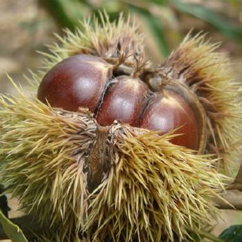 包邮嫁接大红袍板栗苗 盆栽地栽板栗果树苗 北方南方种植板栗树苗