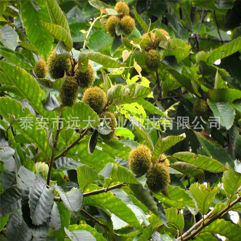 基地嫁接板栗树苗 高产量良种板栗小苗 包成活  各种果树板栗树苗
