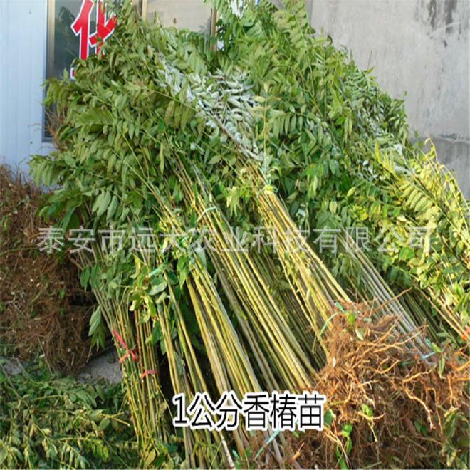 基地大量批發優質 香椿苗 成活率高 紅油香椿苗 價格優惠掛果多