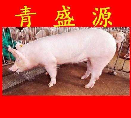 克种猪大约克视频新美系优质大约克猪大母猪红枫扦插白种图片