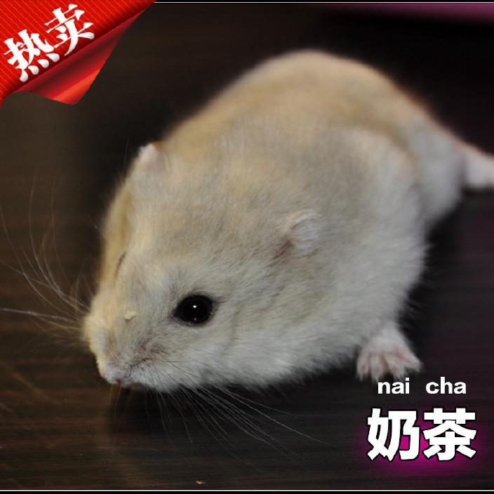 诺比诺宠物仓鼠活体批发 小仓鼠活体 奶茶仓鼠活体 仓鼠活体宝宝