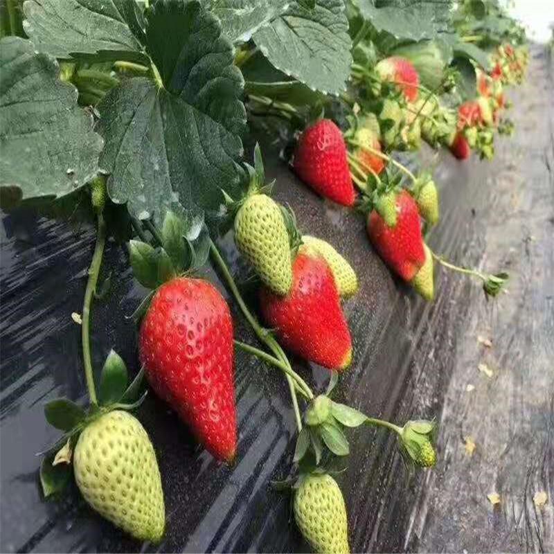 求购草莓苗 买草莓苗 华辰草莓苗基地脱毒草莓苗现挖现卖 草莓苗批发零售价格优惠全国发货 免费提供种植技术
