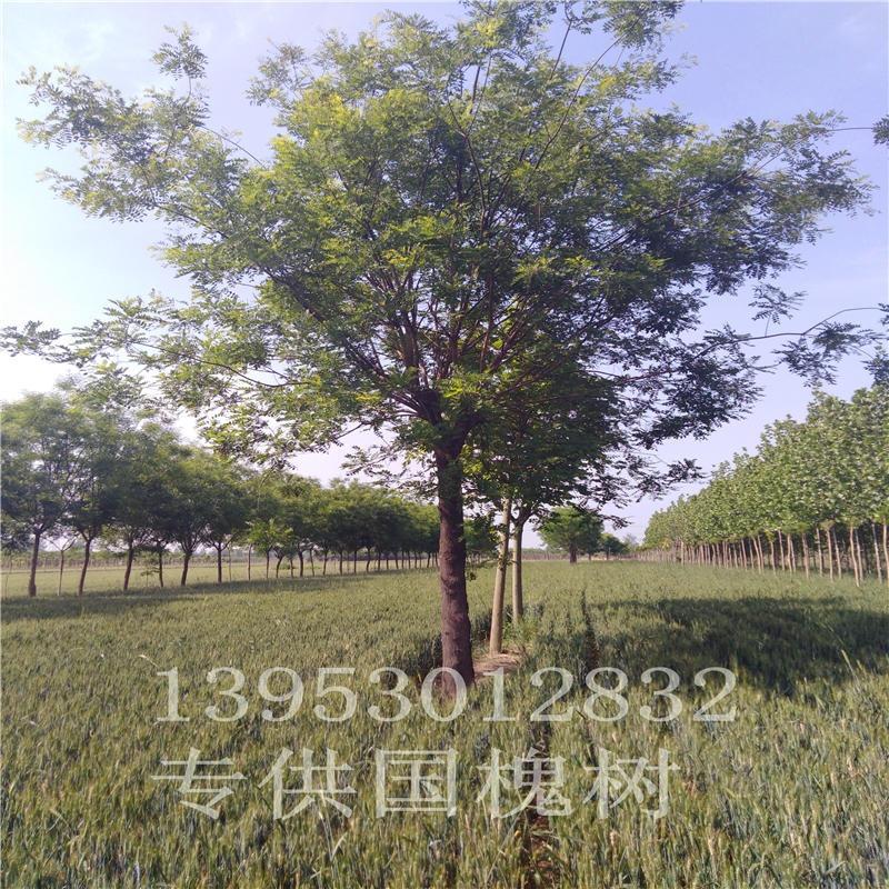 国槐树苗木10公分黑国槐树价格12公分原生国槐树价格15公分国槐树价格国槐树苗圃种植基地