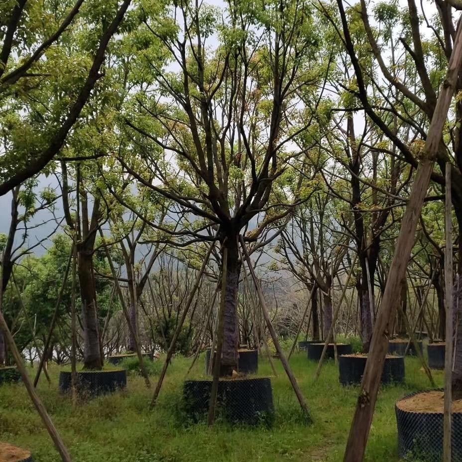 福建全冠香樟樹批發地苗袋苗12-50CM,農戶直銷,規格齊全,價格便宜