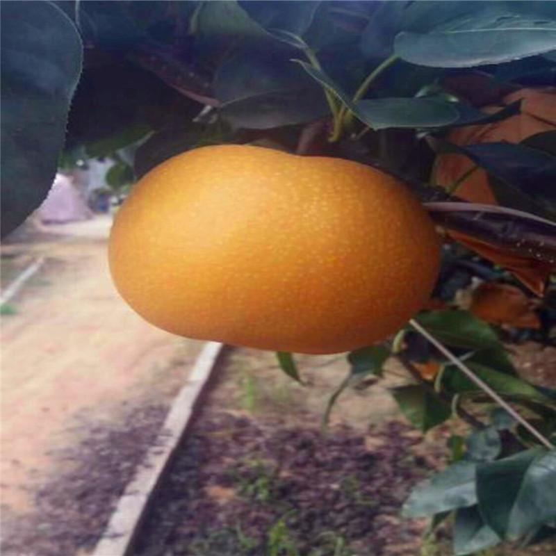 新品种金果梨树苗出售 基地批发柱状梨树苗 晚秋黄梨树苗先挖先买示例图6