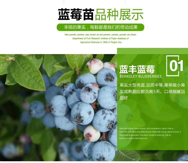藍豐藍莓苗 博郡農業基地批發適合南方種植3年藍莓樹苗 奧尼爾藍莓 薄霧藍莓苗 提供技術示例圖4