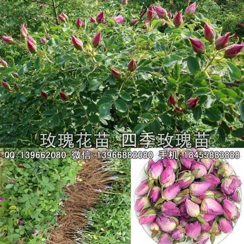 玫瑰種苗,食用玫瑰種苗批發,藥用四季玫瑰苗價格示例圖4