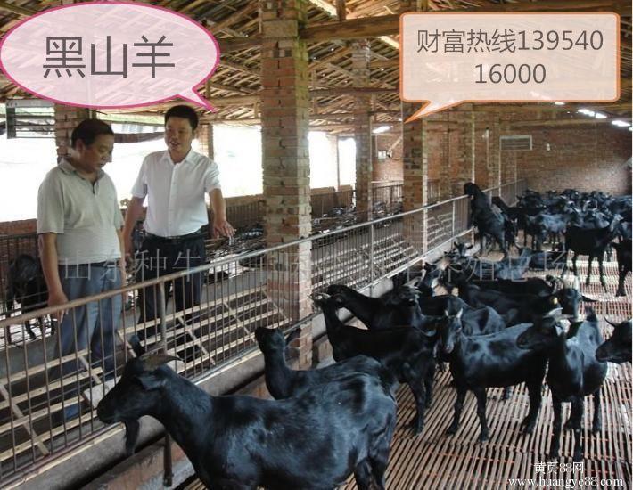正宗纯种黑山羊 价格实惠羊 纯种黑山羊养殖基地 欢迎选购好品质黑山羊 好品质肉羊 纯种肉羊示例图4
