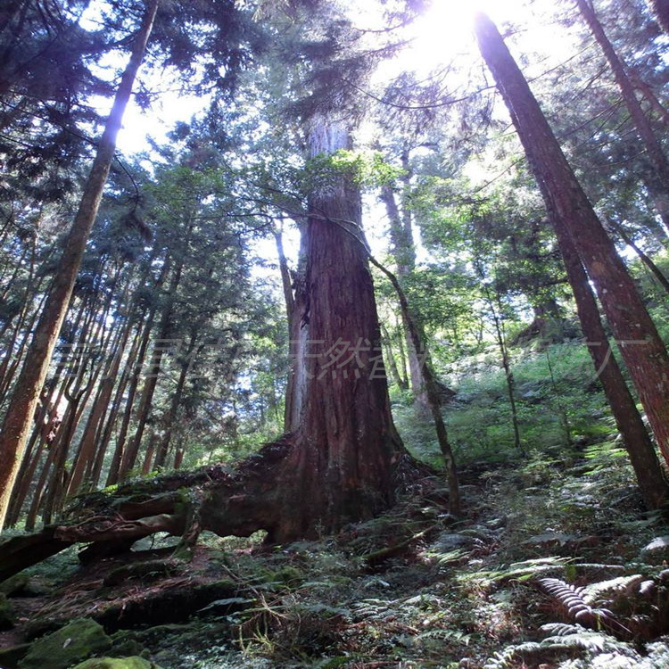 桧木1.jpg