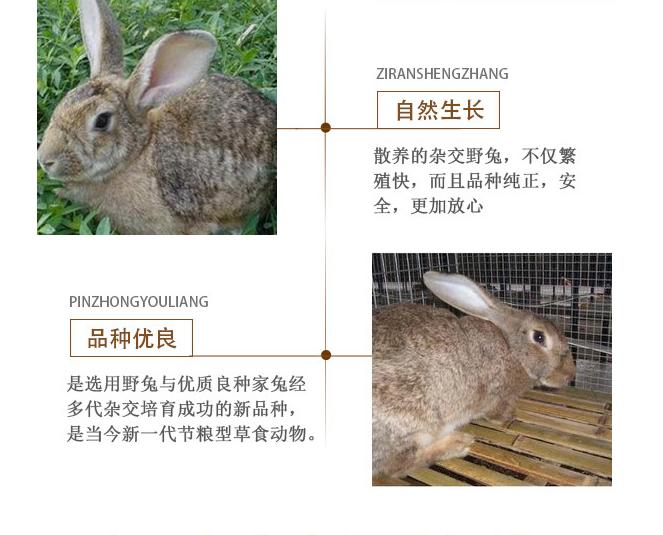 杂交野兔厂家直供 生态比利时杂交野兔厂家 供应批发杂交种兔示例图4