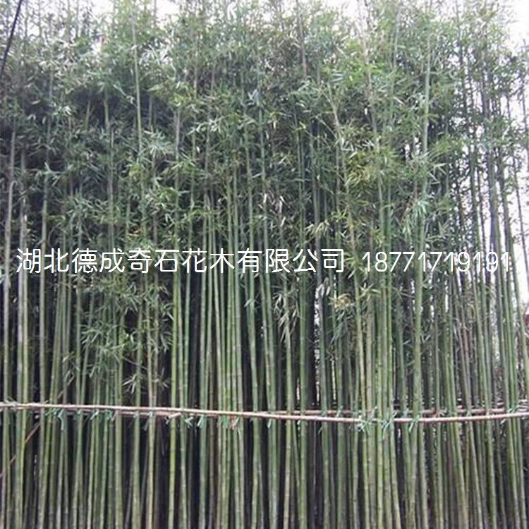 竹子园林绿化用竹子窝竹毛竹篮竹竹子批发竹子价格刚竹青竹示例图1