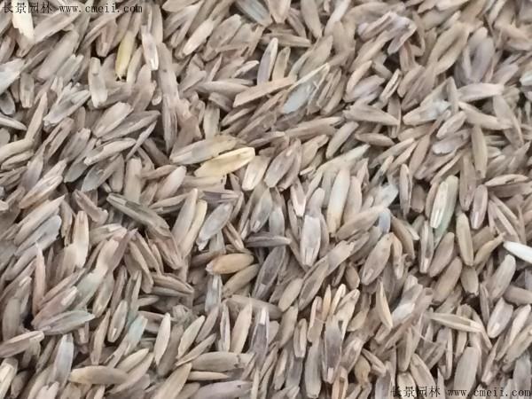 一年生黑麦草种子图片