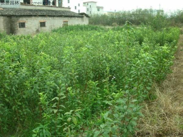 李子种子发芽出苗图片