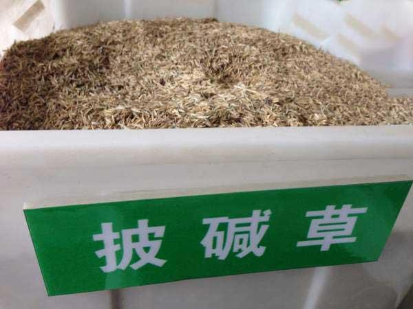 披碱草种子图片