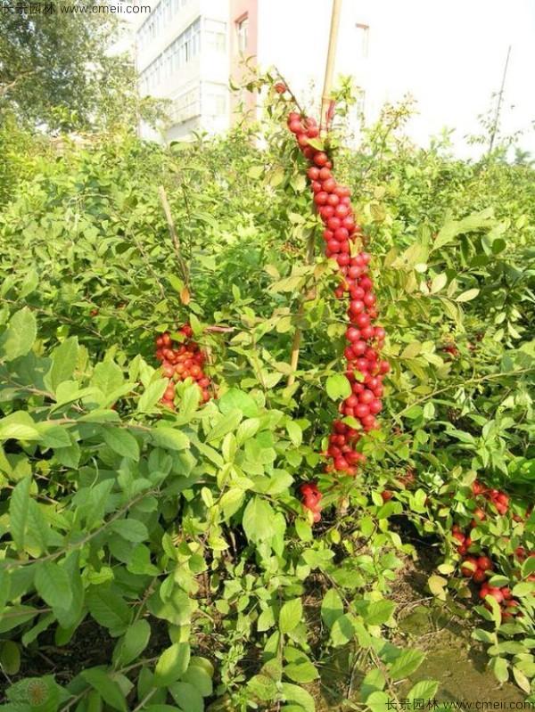 欧李种子发芽出苗开花结果图片