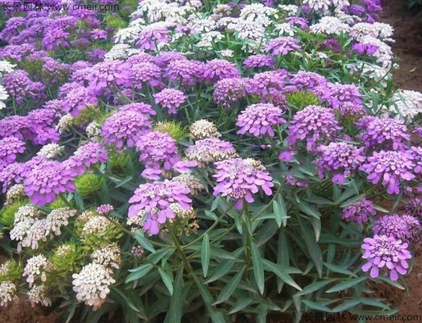 蜂室花发芽温度是多少度