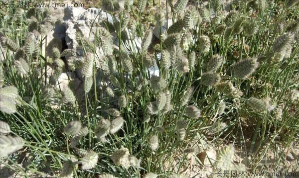 冰草种子发芽出苗图片