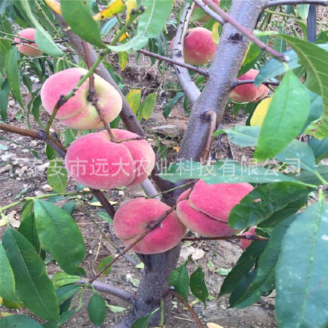 映霜红桃树苗  桃苗价格优惠 成活率高达98% 晚熟雪桃品种示例图9