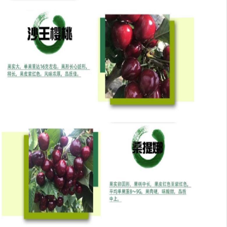 远大园艺场 大量批发布鲁克斯樱桃苗 樱桃苗基地  出售基地