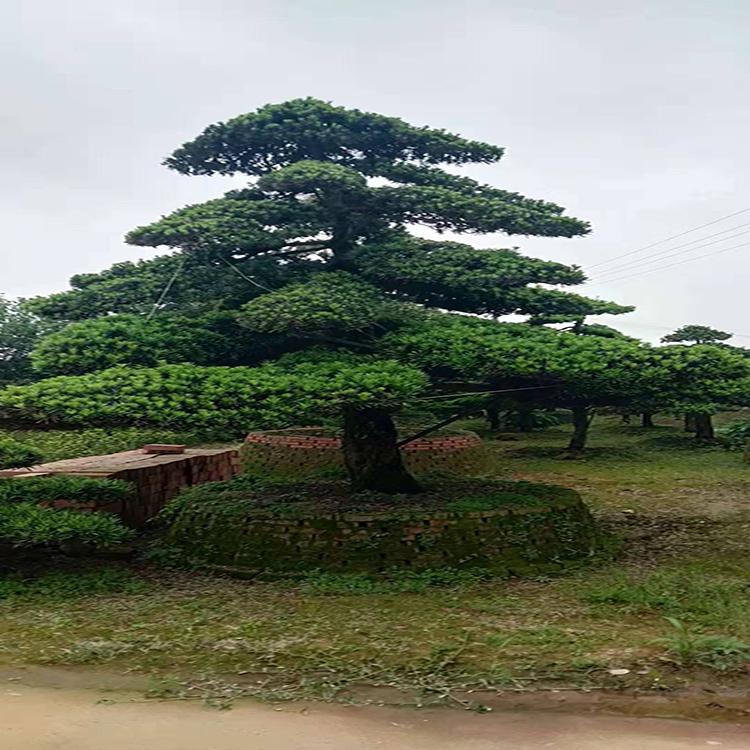基地直销造型罗汉松8到20公分  日本罗汉松造型技术 黑松 基地批发  红成苗木