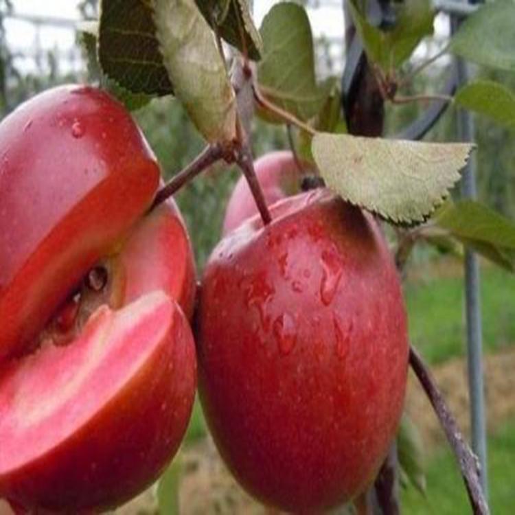 苹果苗  鲁丽矮化苹果苗 早熟全红苹果品种  诚萱园艺