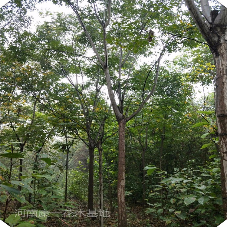 kangyi 15公分欒樹價格 河南欒樹基地出售各個規格黃山欒樹