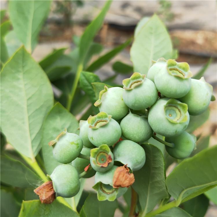 珠宝蓝莓苗推荐鑫奥农业 新品种蓝莓苗规格齐全 兔眼蓝莓苗幼苗图片