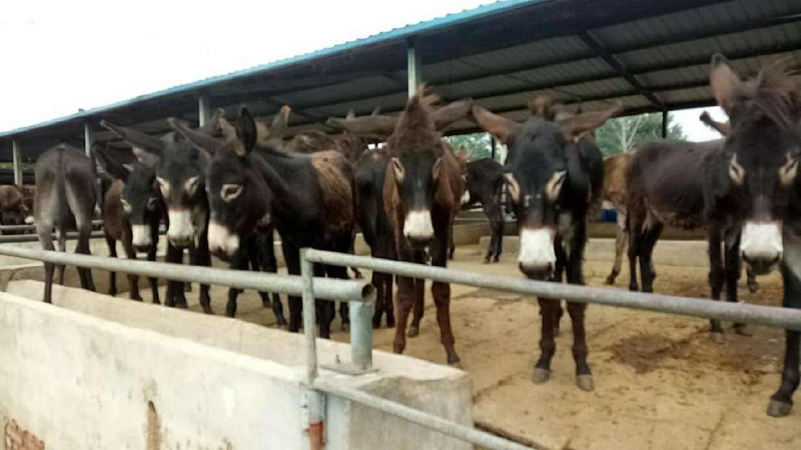 山东肉驴 专业养殖肉驴,好品质肉驴专业养殖肉驴厂家 肉驴厂家直销,肉驴量大优惠示例图6