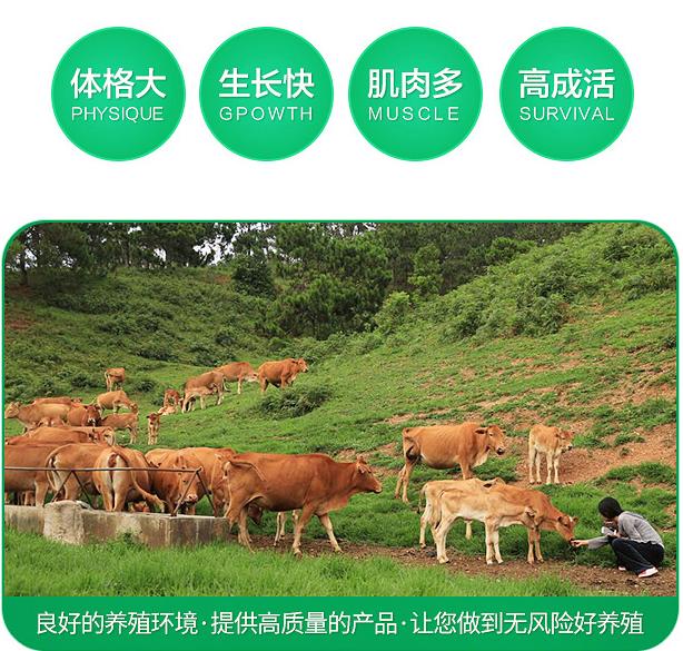 肉牛犊肉牛养殖批发改良肉牛犊 较实惠肉牛犊价格厂家直销肉牛大型肉牛养殖场牛好品质肉牛示例图3