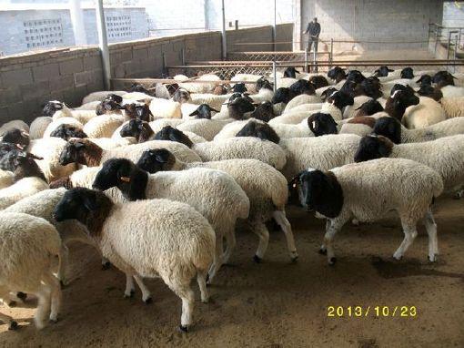 厂家直销肉羊现货小尾寒羊 低价供应小尾寒羊优质品种肉羊 好品质小尾寒羊 羊 纯种肉羊示例图3