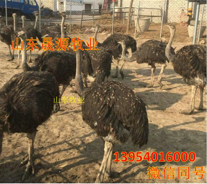 鸵鸟哪有卖的,养殖鸵鸟需要什么手续,哪有鸵鸟养殖场示例图10