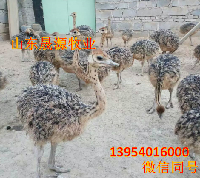 鸵鸟哪有卖的,养殖鸵鸟需要什么手续,哪有鸵鸟养殖场示例图8