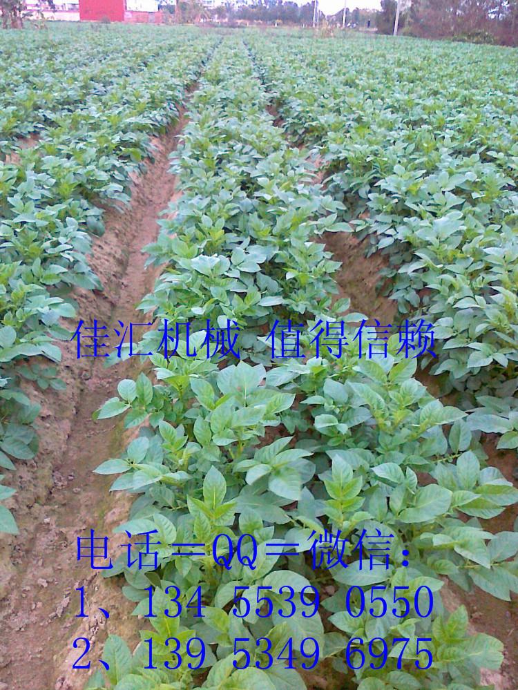 土豆秧 (2).jpg
