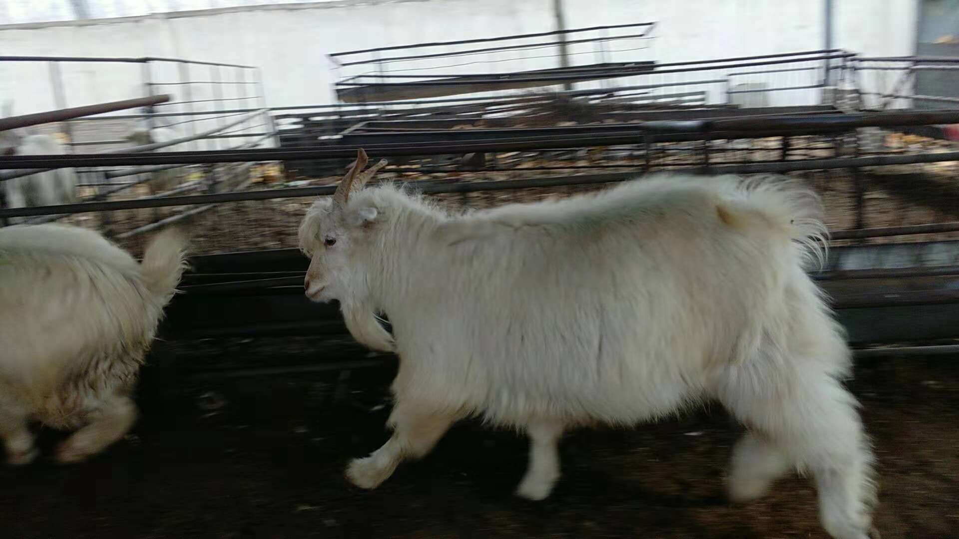 专业养殖绒山羊,绒山羊肉驴厂家直销,绒山羊批发,绒山羊价格示例图4