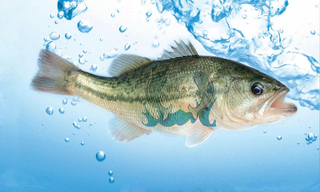 鲈鱼1.jpg