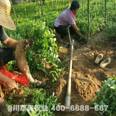 種植金銀花基地 金銀花種植技術規程 優質原種苗